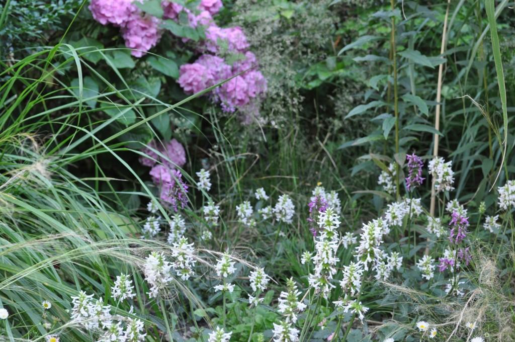stachys officinalis, hydrangea macrophylla, deschampsia cespitosa
